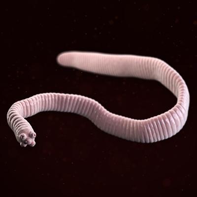 hymenolepis nana thumbnail