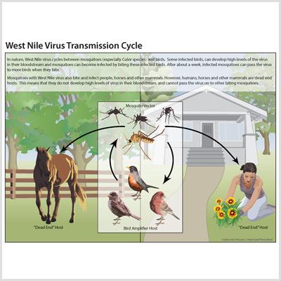 West Nile Virus Transmission Cycle Thumbnail